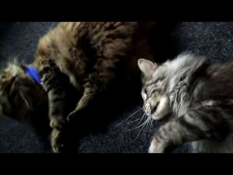 Maine coon and Siberian cat.