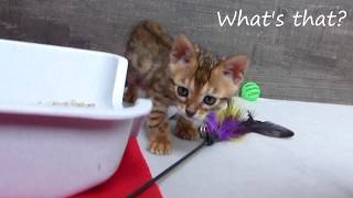 Learning Bengal cat's  hunting skills