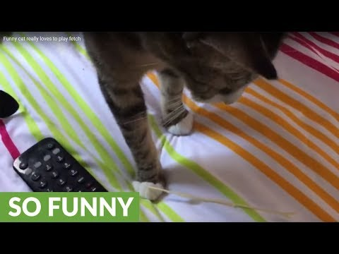 Funny cat really loves to play fetch