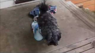 Playing With Diesel (westie X Maltese Dog)