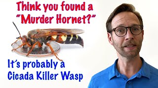 "Think you found a ""Murder Hornet?"" It's probably a Cicada Killer Wasp."