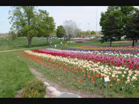 Thousands of Tulips in City Garden Near Downtown Holland Michigan  2010