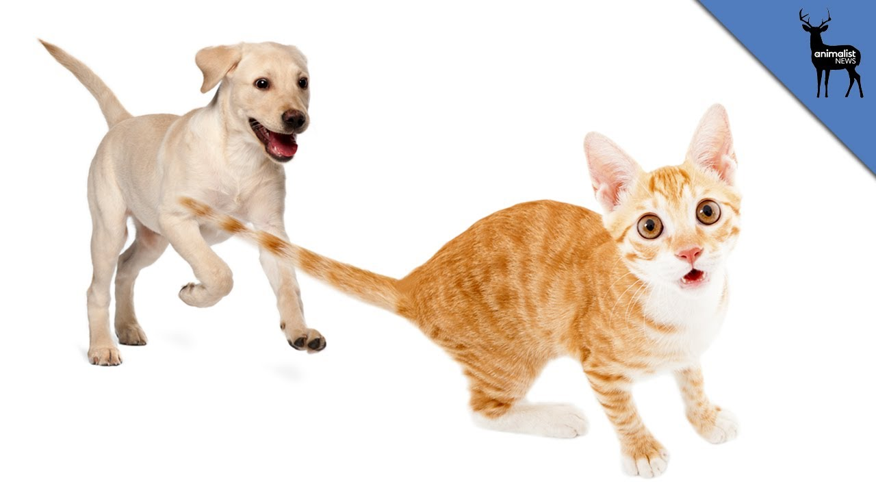 Dog Chasing A Cat Image