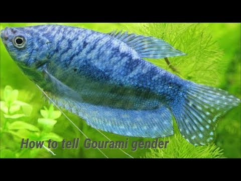 How To Tell Gourami Gender? Telling Male And Female Gouramis Apart