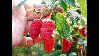 видео Выращивание малины, обрезка малины, выращивание малины как бизнес / Агротехника выращивания малины / ПлантЭксперт