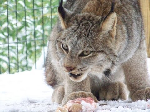 Feeding our Canadian Lynx Mazuri Feline Large Meat Pellets, Chicken and Liver