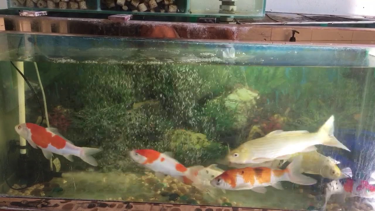 Nu i c ch p nh t koi fish tank youtube for Coy fish tank