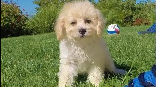 'bryce', Our Perfect Male Cavapoo Puppy For Sale In San Diego.