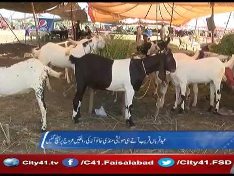 41 Report : Faisalabad Khanwana cattle market in full swing