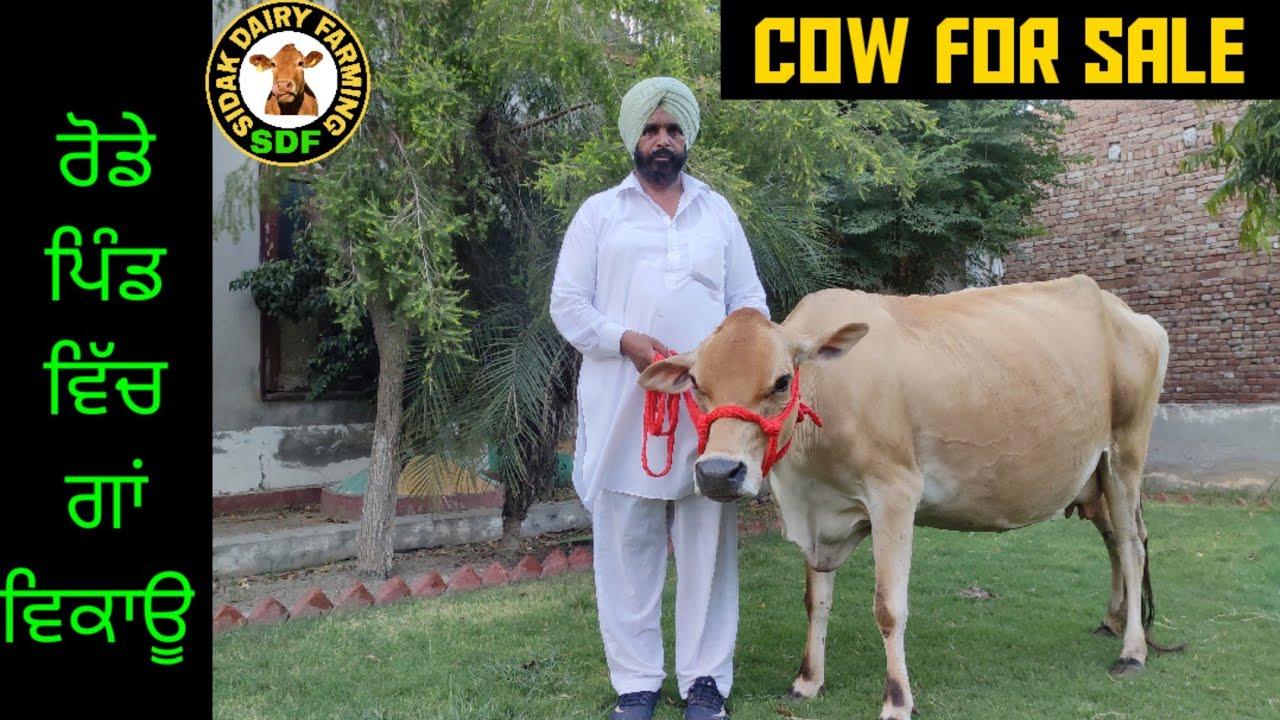Jersey cow for sale, ਜਰਸੀ ਗਾਂ ਵਿਕਾਊ