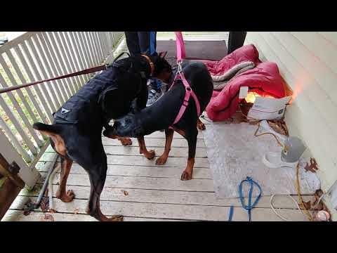Doberman Pinscher Puppies - Breeding Dobies