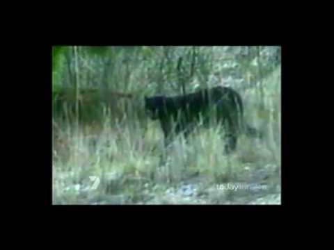puma animal australia