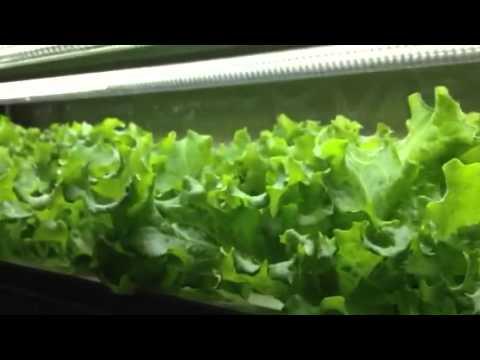 簡単!水耕栽培レタスのつくり方