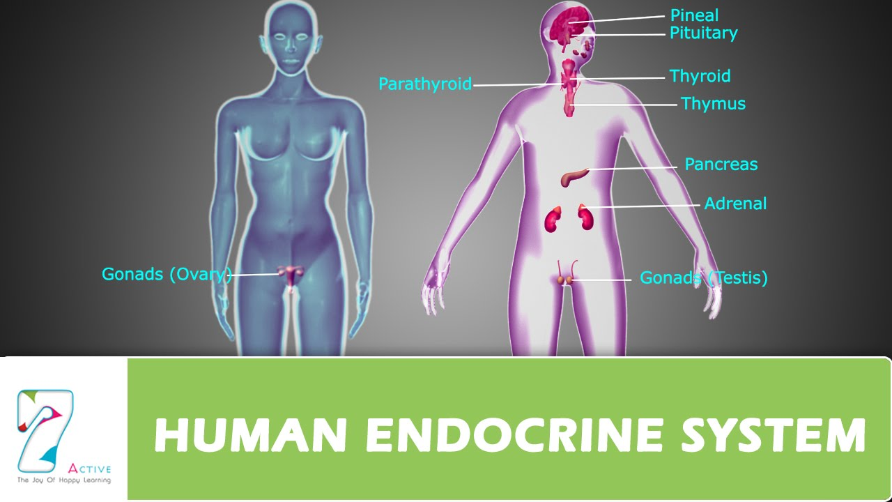 HUMAN ENDOCRINE SYSTEM_PART 01 - YouTube