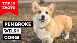 Pembroke Welsh Corgi  Top 10 Facts