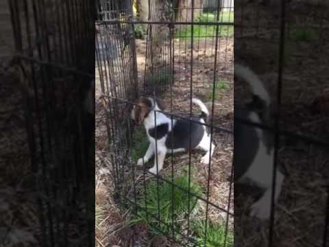 Blue tick pocket beagle