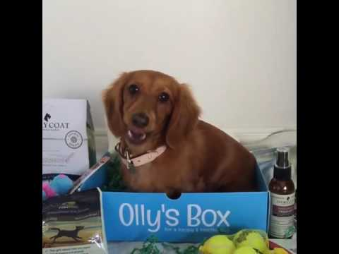 Check out River the Mini Dachshund Getting Stuck Into Olly's Box