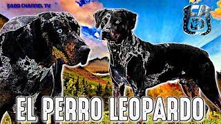 RAZA AMERICANA ❌ LOBO ROJO y BEAUCERON ► CATAHOULA LEOPARD DOG ✔