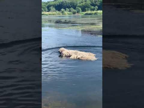 Hungarian komondor during swimming الكلب الهنغاري  أثناء السباحة