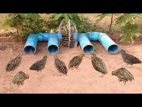 Awesome Quick Bird Trap Using Electric Fan Guard And PVC Pipe That Work 100%