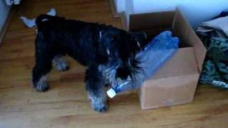 Our Miniature Schnauzer Kasey Playing