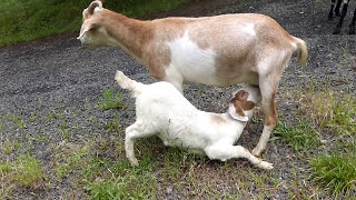 funny baby goats