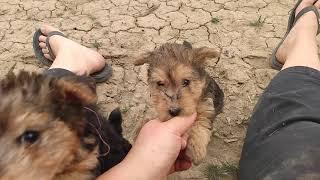 JuneJohnny's 2/20/21 lakeland puppies 7 weeks old