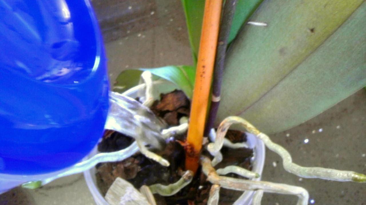 orquideas riego