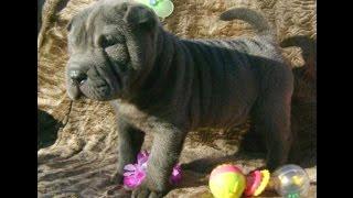 Shar-pei  Puppy , Blue Boy 1 , For Sale