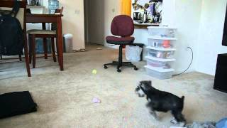 Max The Miniature Schnauzer Puppy 9-10 Weeks Old Playing Fetch
