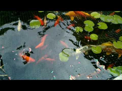 My pond june 2010 koi ofe goldfish tench grass for Koi vs goldfish