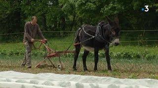 Travaux des champs, quand le tracteur laisse sa place aux animaux