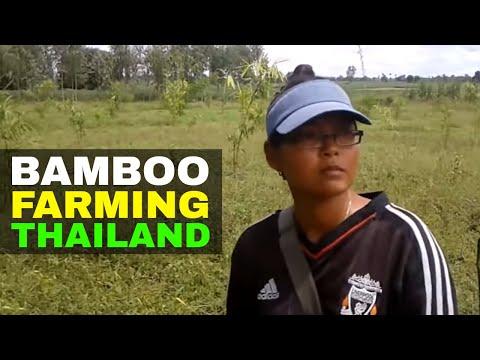 GROWING BAMBOO THAILAND Bamboo farm TAIWAN GIANT BAMBOO (Bambu)
