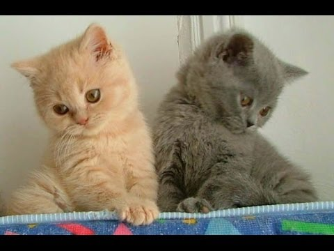 Animal Planet  :  Cats 101 ~ British Shorthair