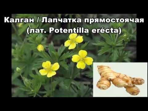 Ярутка — лечебные свойства, применение и рецепты