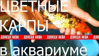 Карпы. Карпы Кои. Карпы в аквариуме. Содержание карпов в аквариуме.(Донецк Аква вконтакте: https://vk.com/donetsk_aqua Донецк Аква в твиттере: https://twitter.com/pisyaukovsv ---------------------------------------------------..., 2016-10-24T18:22:56.000Z)