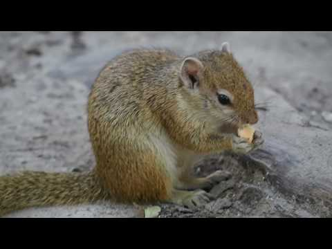 P5108294   Smikkelend eekhoorntje River Safari Lodge