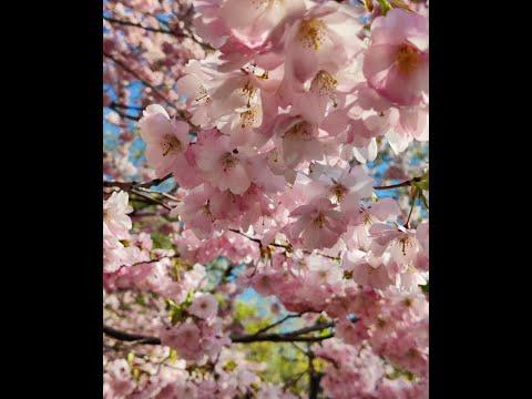 Cherry Blossom : Kungsträdgården Stockholm, Sweden | Scandinavia | Summer 2021