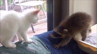 Енот против ... #1 | Лучшие приколы с котами и енотами 2017 | Fun with cats and raccoons