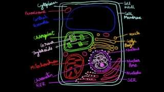 How to draw a plant cell
