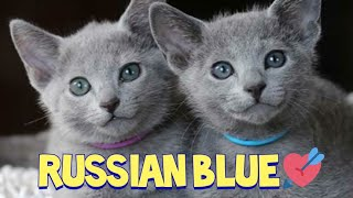 Lovely Russian Blue Cat Compilation : Azul Russo