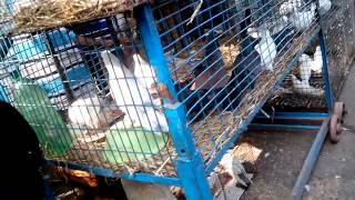galiff street bird market