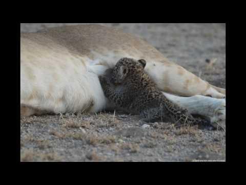 Lioness Adopts Leopard Cub