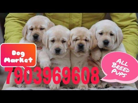 Labrador Puppies In Patna | Patna Labrador puppy | Labrador puppies In Bihar | Bihar Best Dog Shop |