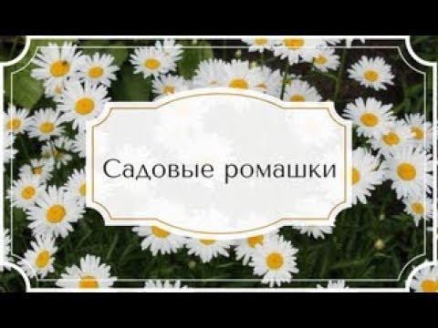 Как цветут садовые ромашки