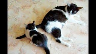 Funny Cat Pusia. 10. Котята охотятся на хвост кошки. Кошка пытается спрятаться.