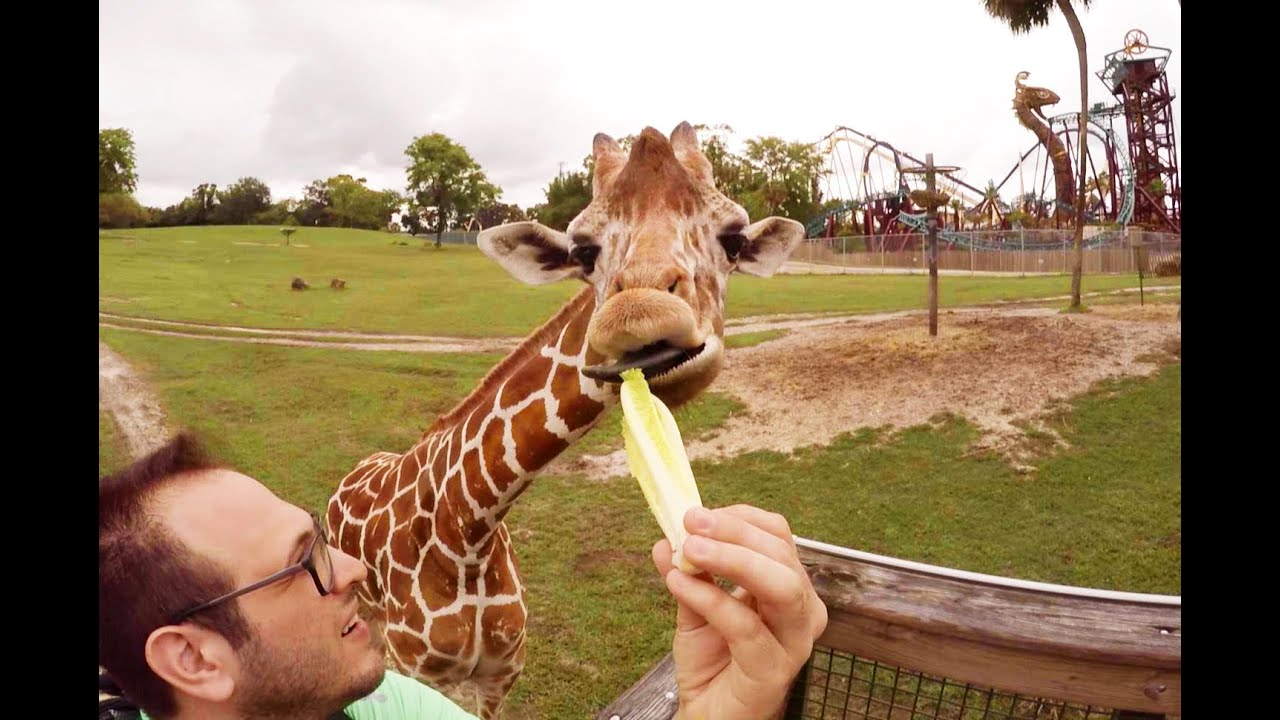 Feeding Giraffes in 360 at Busch Gardens Serengeti Safari YouTube
