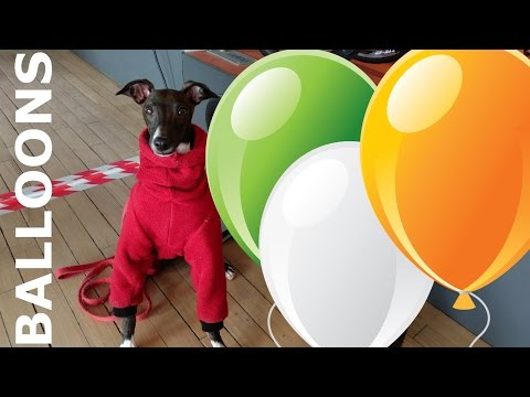 Italian Greyhound Plays with Balloon