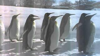 ペンギンのお散歩でーす。これは帰り道だよ(^_-)-