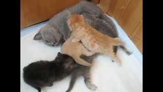 Британский котенок кормит молоком шотландских котят